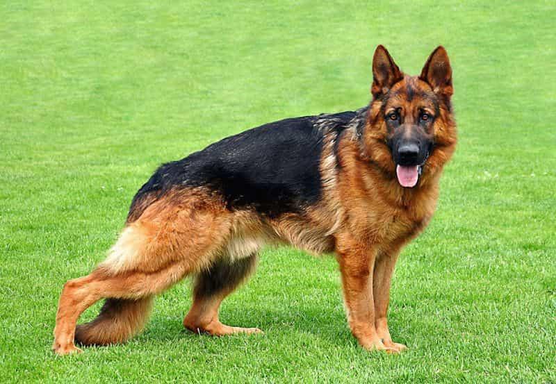 Các loại bệnh mà chó Becgie thường hay gặp phải