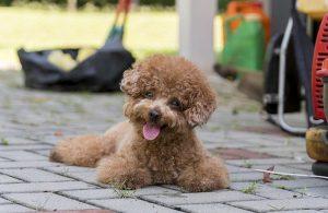 Cách chăm sóc và chế độ dinh dưỡng cho chó Poodle